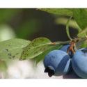 Pěstování kanadské borůvky a jeho zákonitosti